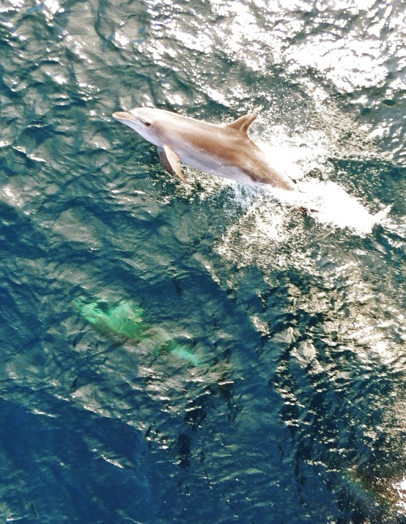 A dolphin surfaces near Southern Surveyor (image Beatriz Britto Pereira)